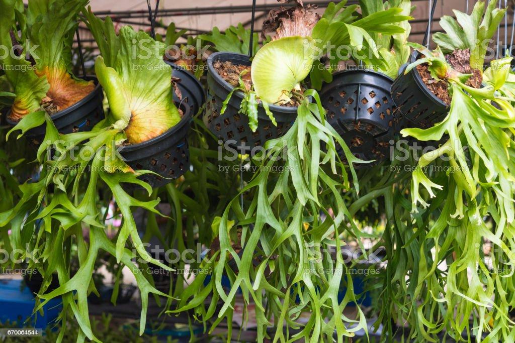 Platycerium, staghorn fern stock photo
