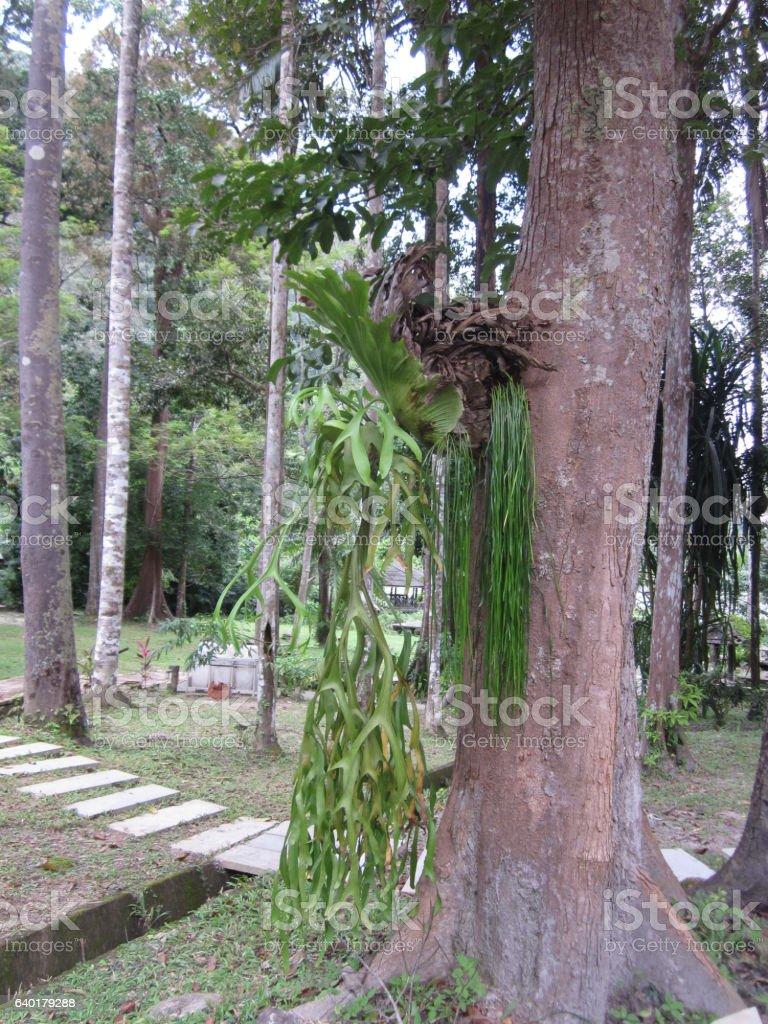 Platycerium superbum or Staghorn fern. stock photo