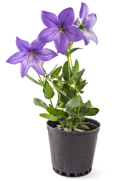 Platycodon grandiflorus Violet flower of Platycodon, Platycodon grandiflorus, or bellflowers in flower pot, isolated on white background. Balloon flower of violet Platycodon in bloom during summer perennial stock pictures, royalty-free photos & images