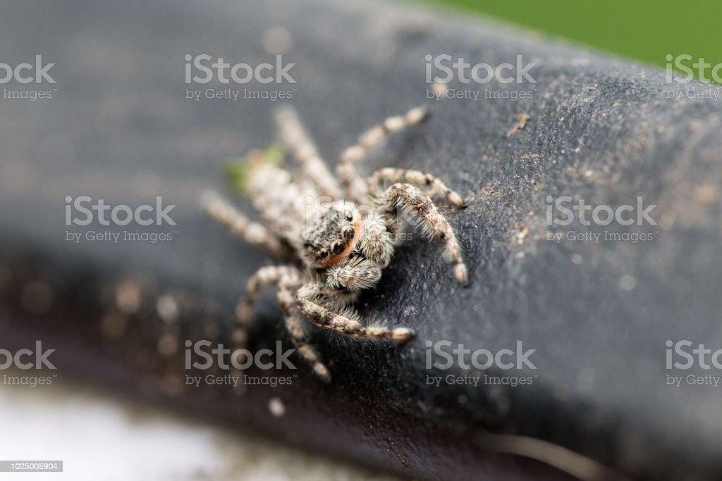 Platycryptus undatus (Tan Jumping Spider) close up stock photo