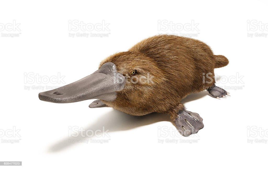 Platypus duck-billed animal. stock photo