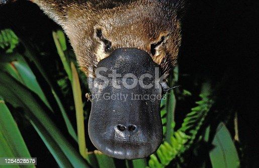 Platypus, ornithorhynchus anatinus, Close up of Beak, Australia