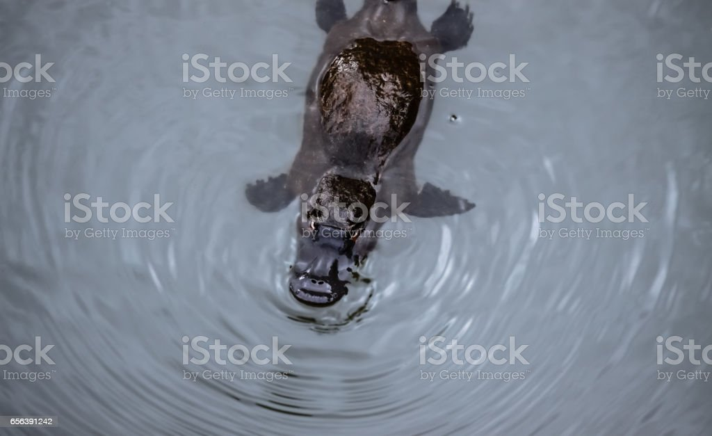 Platypus swimming on the surface of a creek stock photo
