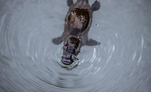 Platypus schwimmen auf der Oberfläche eines Baches – Foto