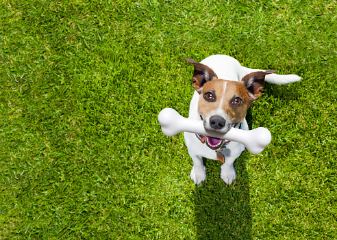 happy jack russell terrier dog  in park or meadow waiting and looking up to owner to play and have fun together, bone in mouth