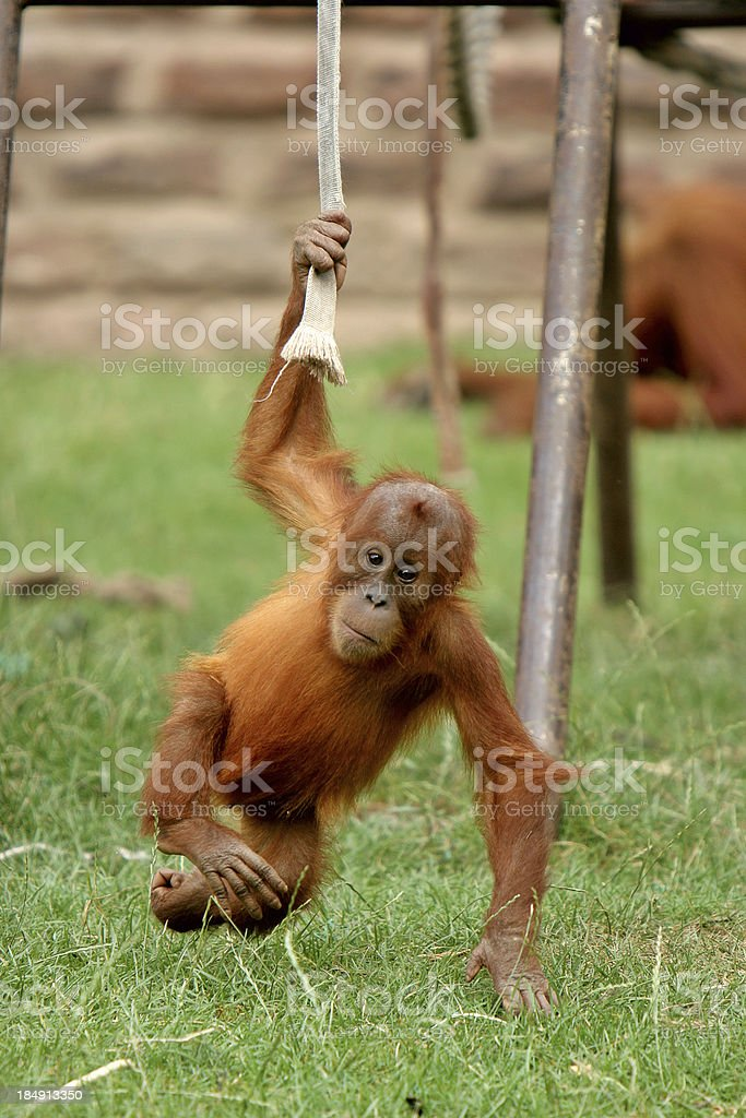 Play Time - Baby Urangutang doing what babies do royalty-free stock photo