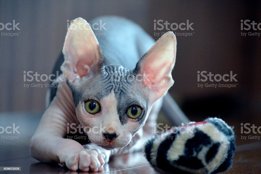 Play Time - Canadian Sphynx Hairless Cat stock photo