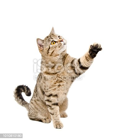istock Playful a cat Scottish Straight sitting with a raised paw 1010810180