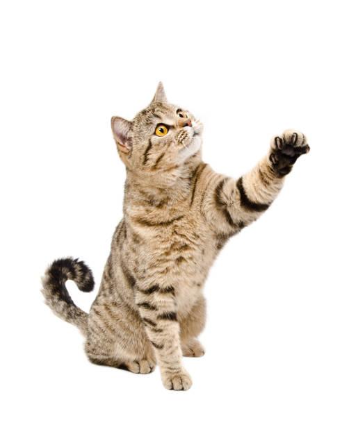 Playful a cat scottish straight sitting with a raised paw picture id1010810180?b=1&k=6&m=1010810180&s=612x612&w=0&h=mstvnrx w63hc3sx5rcqg2z qkyquskuorcljk lg9m=