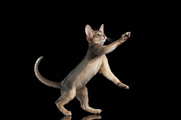Playful abyssinian kitten catching paws isolated on black background picture id511868128?b=1&k=6&m=511868128&s=612x612&w=0&h=ivawfatywdke0kb0gzczf4dyauebwfmyfxykifzfori=