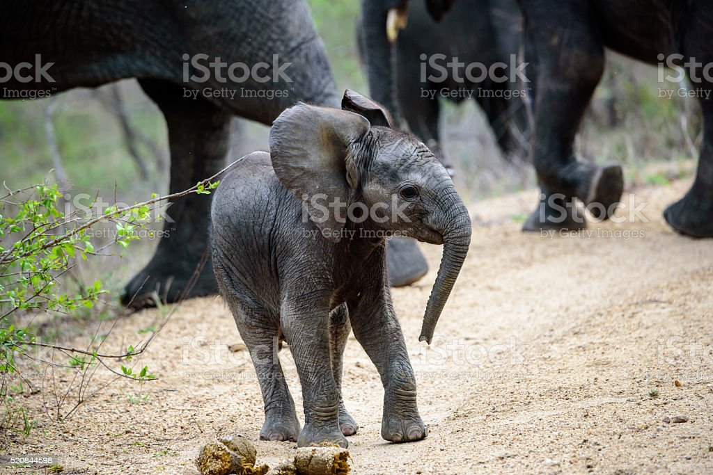 Playful African Elephant calf experimenting stock photo