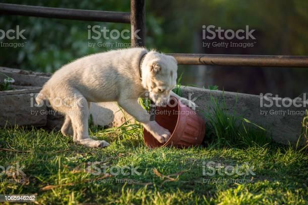 Playful alabai puppy picture id1065946252?b=1&k=6&m=1065946252&s=612x612&h=uow4iautkfzptxe ffogi2rbfsiwvaag9iiwz83idku=