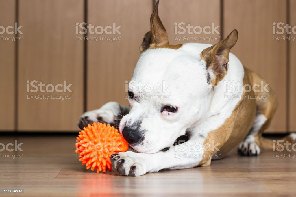 Playful and cute dog chewing a toy at home stock photo
