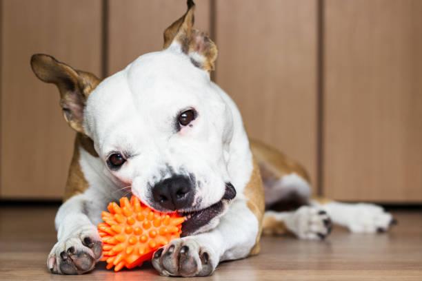 speels en schattig hond thuis een stuk speelgoed kauwen - hondenkluif stockfoto's en -beelden