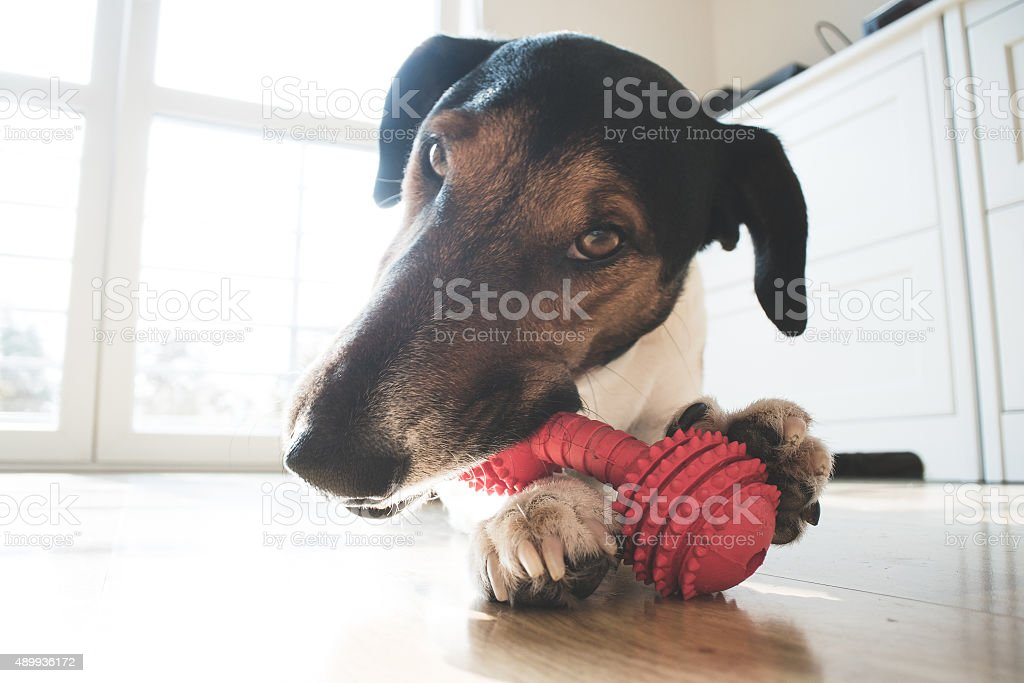 Playful and cute terrier dog chewing a toy at home stock photo