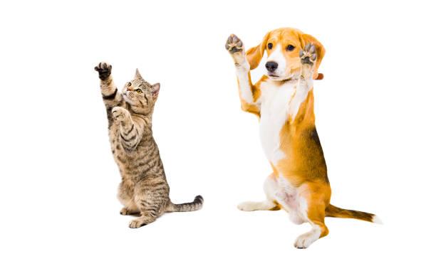 Playful beagle dog and cat scottish straight picture id926092654?b=1&k=6&m=926092654&s=612x612&w=0&h=gqzcm7eu4e6emnd3oatl2eckf7g7du kk9 rcsucthm=