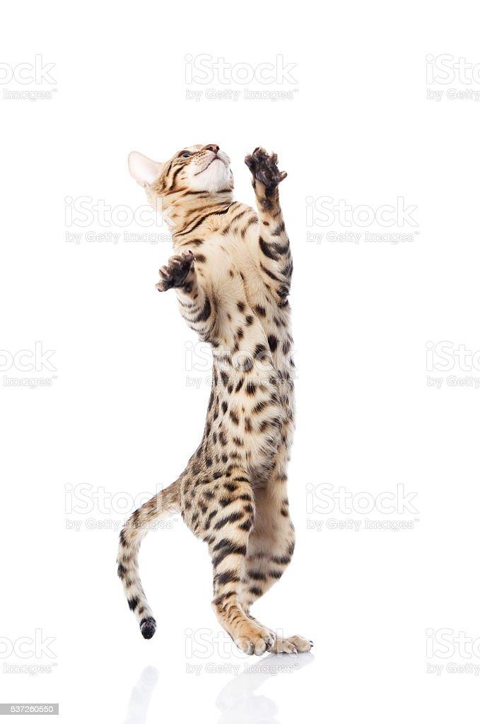 playful Bebgal cat. isolated on white background stock photo