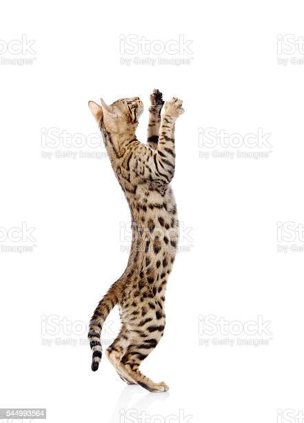 Playful bebgal cat isolated on white background picture id544993564?b=1&k=6&m=544993564&s=612x612&h=c76eb8jghvlqw pgirac1ix7knsvkmldov7ylswye2m=