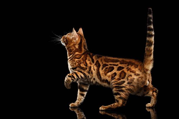 Playful bengal male cat with beautiful spots isolated black picture id543073250?b=1&k=6&m=543073250&s=612x612&w=0&h=lquv e22kiw 4oro36saot6qaav0zblp8fa qrl6mju=