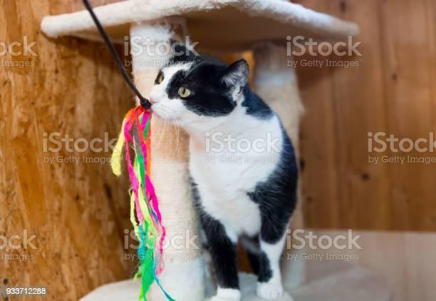 Playful black an white cat closeup picture id933712288?b=1&k=6&m=933712288&s=612x612&h=3bkochddajp9 nvuaizyz xogshlxmt4r1h94rsa hw=