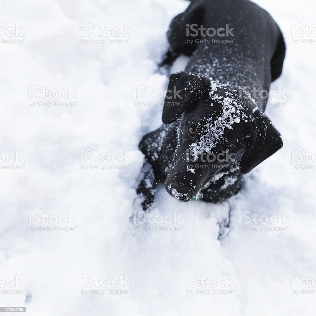 Playful Black Dog in Snow royalty-free stock photo