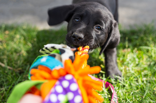 Happy, playful black labrador retriever puppy excitedly playing tug-of-war with their multicolored dog toy