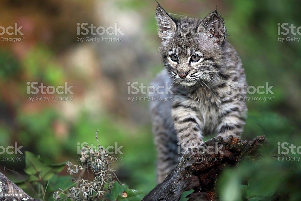 Playful Bobcat Kitten stock photo