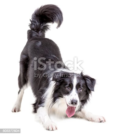 Cute male dog border collie. The dog black and white color pattern is posing fun leaning forward. Studio shooting on a white background