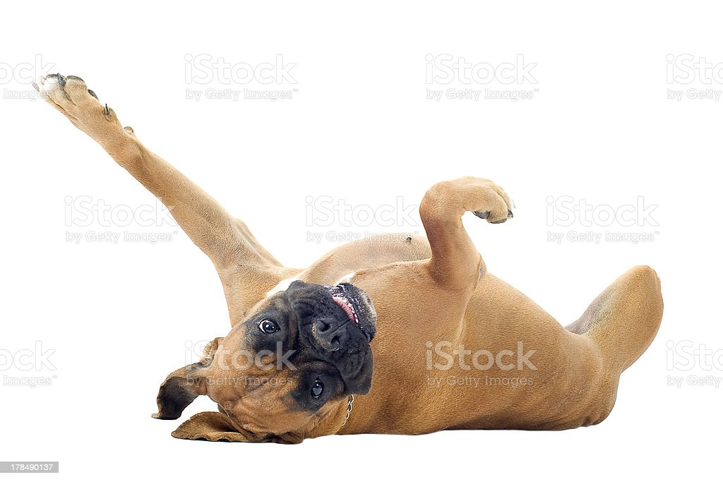 Playful boxer dog on its back stock photo