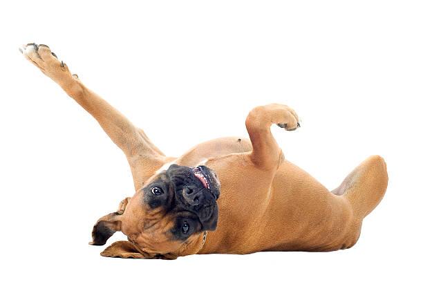 zabawny pies boksera na plecach - bokser pies zdjęcia i obrazy z banku zdjęć