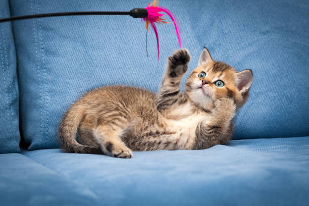 Playful brown British kitten playing with a stick lying upside down stock photo