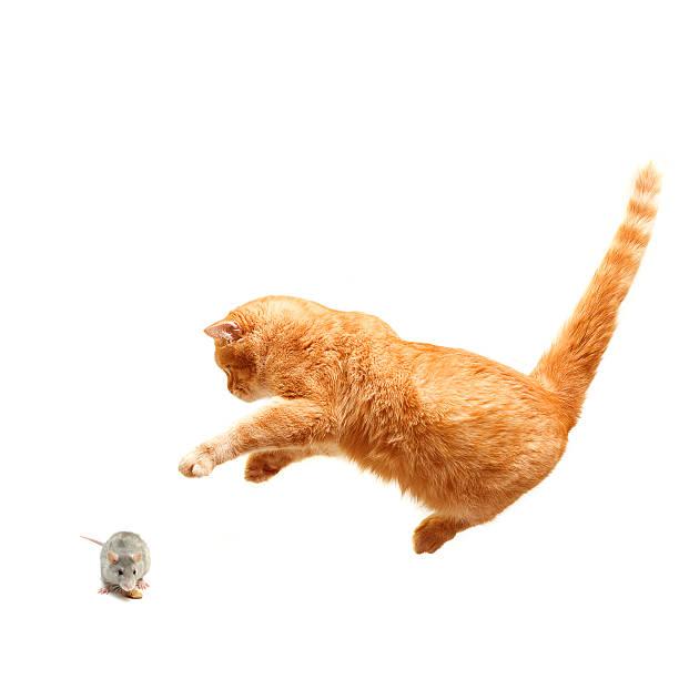 Playful cat hunts a mouse picture id120727596?b=1&k=6&m=120727596&s=612x612&w=0&h=maufmllbtrwogrggkrbutqcngi2jizkwck7rpo0kwbo=