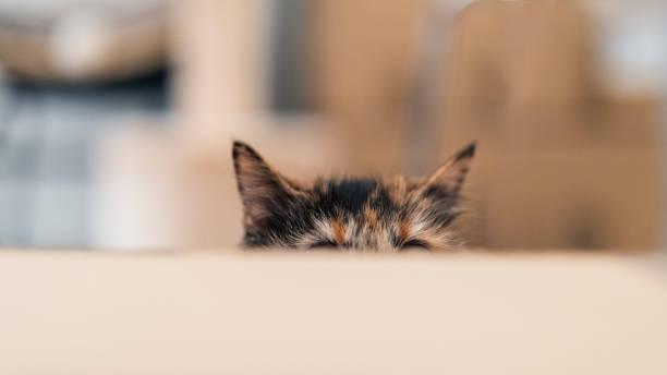 Playful cat in ambush A tortoiseshell cat hiding behind a cardboard box, waiting in ambush ambush stock pictures, royalty-free photos & images