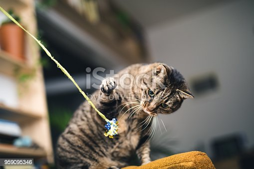 Tabby cat playing with cat toy in an apartment.