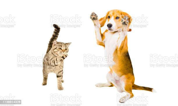 Playful cat scottish straight and beagle dog standing together on picture id1138614328?b=1&k=6&m=1138614328&s=612x612&h=z xjwzhd7kw8endfkddvnqq49oj0vlbuav4uo 3knza=