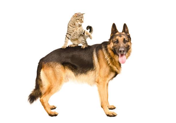 Playful cat scottish straight standing on german shepherd picture id910314046?b=1&k=6&m=910314046&s=612x612&w=0&h=i3 kyiapkutwg3 y6quzjstn647g6b2hrxvgjnaqreu=