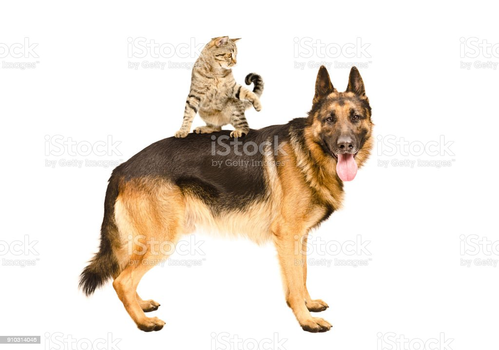 Playful cat Scottish Straight standing on German shepherd stock photo