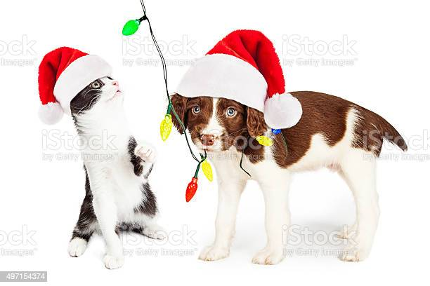 Playful christmas kitten and puppy picture id497154374?b=1&k=6&m=497154374&s=612x612&h=we9zuxbvf73mjtmlwfx35qi htessptbpuu iyokyos=