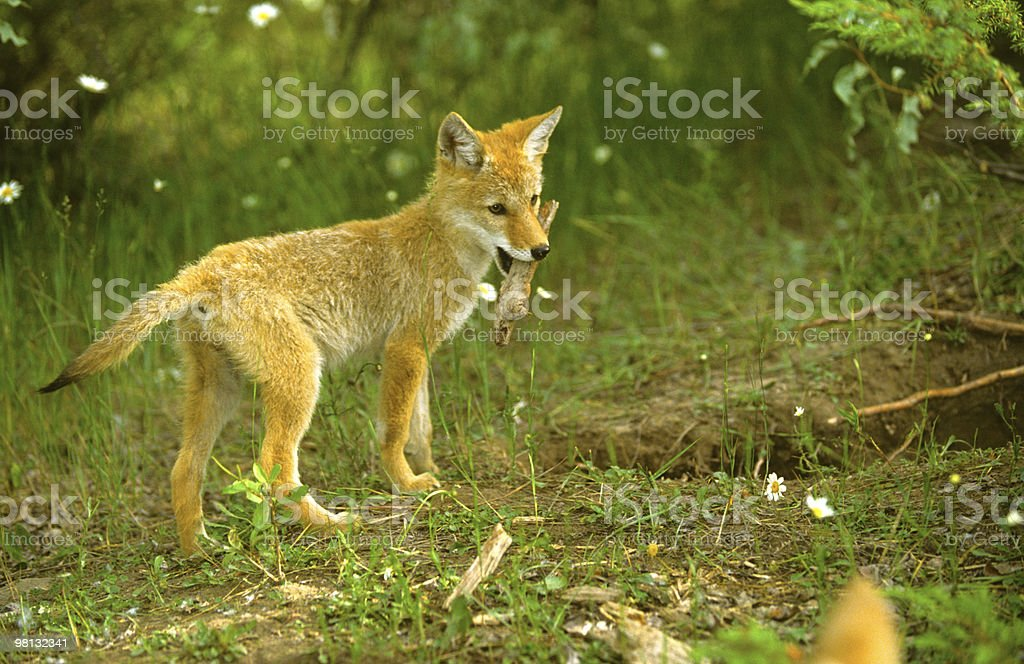 Playful Coyote Pup royalty-free stock photo