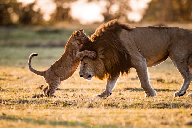 Playful cub with majestic lion. Playful lion cub playing with his father in the wild. Copy space. animal family stock pictures, royalty-free photos & images