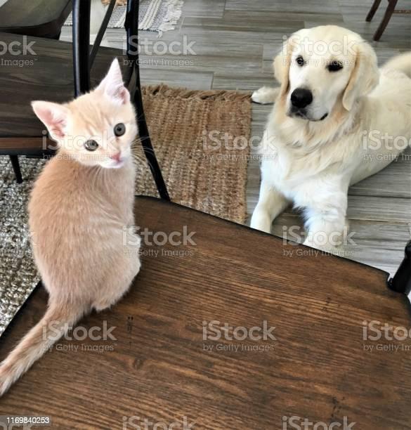 Playful cute and curious 8 week old light orange tabby kitten on bed picture id1169840253?b=1&k=6&m=1169840253&s=612x612&h=1w8snc7oipuhsufiapda344f3b goesezylphuxfbys=