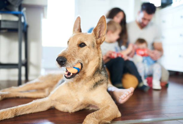 Playful cute family pet dog sitting with young family in background holding ball in mouth stock photo
