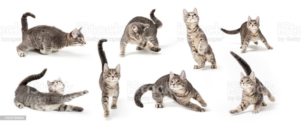 Playful Cute Gray Kitten in Different Positions royalty-free stock photo