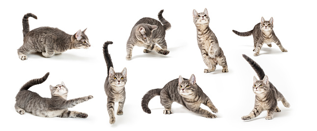Eight playful positions of a cute young gray tabby kitten on white