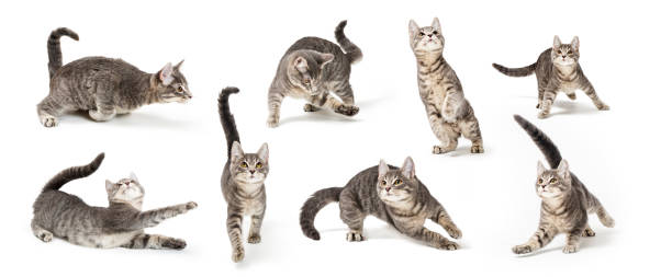Playful Cute Gray Kitten in Different Positions stock photo