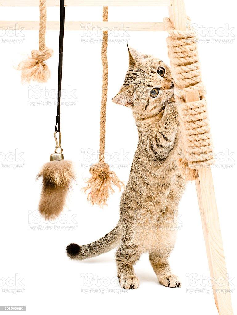 Playful cute kitten Scottish Straight stock photo