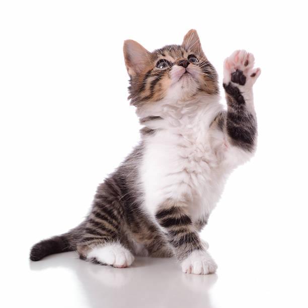 Playful cute kitty picture id459969205?b=1&k=6&m=459969205&s=612x612&w=0&h=msrxceazuvxu7hjov31jqn02ubj5gjjpt2sh43axv1a=