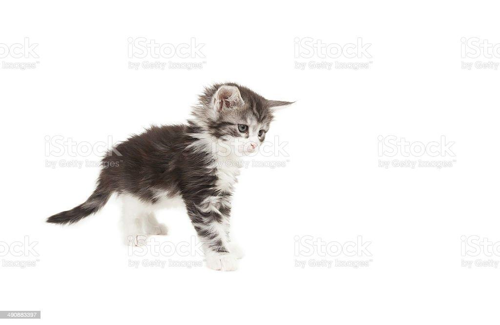 Playful Cute Maine Coon kitten stock photo