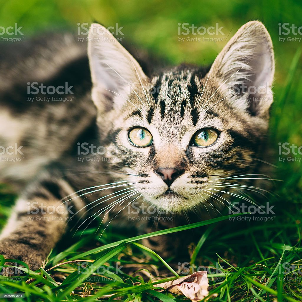Playful Cute Tabby Gray Cat Kitten Pussycat Sitting In Grass royalty-free stock photo