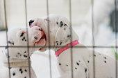 Two dalmatian puppies are playing together in their playpen.